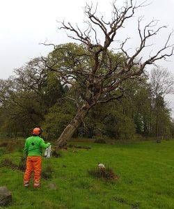 Tree Felling Newport D L Corran Tree Surgeons