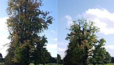 Crown Reduction Services D L Corran Tree Surgeons